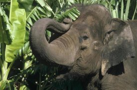 Gerry Ellis - Asian Elephant profile, India
