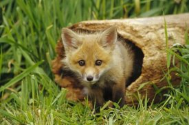 Gerry Ellis - Red Fox kit in log, Aspen Valley, Ontario, Canada