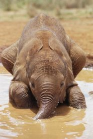 Gerry Ellis - Orphan baby Isholta playing in mud bath, Tsavo East NP, Kenya