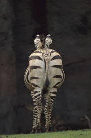 Gerry Ellis - Hartmann's Mountain Zebra hindview, native to Africa