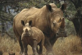Gerry Ellis - White Rhinoceros mother with baby, Lewa Wildlife Conservancy, Kenya
