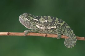Gerry Ellis - Flap-necked Chameleon portrait on twig, Okavango Delta, Botswana