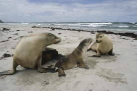 Gerry Ellis - Australian Sea Lion mother and pups, Kangaroo Island, Australia