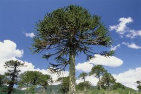 Gerry Ellis - Monkey Puzzle Tree in landscape, Conguillio National Park, Chile