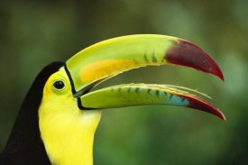 Gerry Ellis - Keel-billed Toucan portrait, native to Mexico and Central America