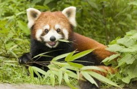 Katherine Feng - Lesser Panda eating bamboo, Wolong Nature Reserve, China