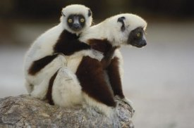 Pete Oxford - Coquerel's Sifaka mother and baby,  Madagascar