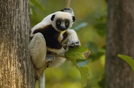 Pete Oxford - Coquerel's Sifaka western deciduous forest, Madagascar
