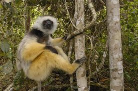 Pete Oxford - Diademed Sifaka , Mantadia National Park, Madagascar