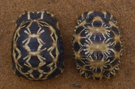 Pete Oxford - Spider Tortoise (left) and Radiated Tortoise (right), , Madagascar