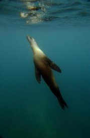 Pete Oxford - Galapagos Sea Lion underwater off of Santiago Island, Galapagos Islands, Ecuador