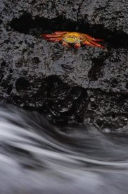 Pete Oxford - Sally Lightfoot Crab in rock crevice, Santiago Island, Galapagos Islands, Ecuador