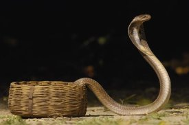 Pete Oxford - Spectacled Cobra with hood flared in defense posture, Gujarat, India