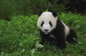 Pete Oxford - Giant Panda looking at camera, Wolong Reserve, Sichuan Province, China