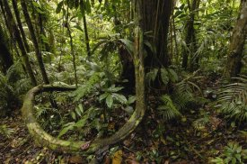 Pete Oxford - Vines in tropical rainforest understory, Yasuni National Park, Amazonia, Ecuador
