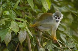 Pete Oxford - South American Squirrel Monkey in trees, Amazon Rainforest, Ecuador