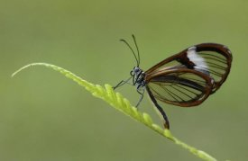 Pete Oxford - Nymphalid Butterfly, Andes Mountains, Mindo Cloud Forest, Ecuador