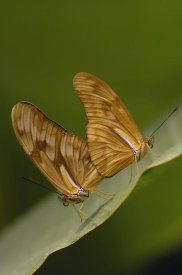 Pete Oxford - Julia Butterfly pair mating, Mindo Butterfly Farm, Cloud Forest, Ecuador