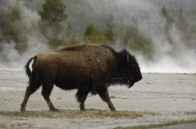 Pete Oxford - American Bison male near hot springs, Yellowstone National Park, Wyoming