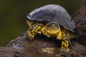 Pete Oxford - Colombian Wood Turtle portrait, Amazon, Ecuador