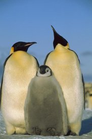 Pete Oxford - Emperor Penguin pair with chick, Weddell Sea, Antarctica