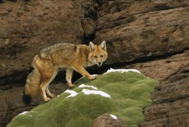 Pete Oxford - Andean Red Fox altiplano, Bolivia