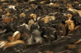 Pete Oxford - Cattle herded by Chagras during the annual round-up, Andes Mountains, Ecuador