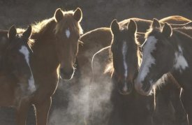 Pete Oxford - Horse herd at annual round-up, backlit, Ecuador