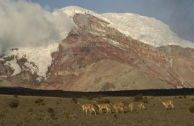 Pete Oxford - Vicuna herd grazing beneath Mt Chimborazo, Andes Mountains, South America