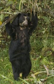 Pete Oxford - Spectacled Bear , cloud forest, Andes Mountains, South America