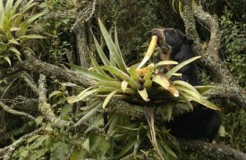 Pete Oxford - Spectacled Bear feeding on bromeliads, cloud forest, Andes, South America