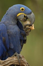 Pete Oxford - Hyacinth Macaw in Cerrado habitat eating Piassava Palm nuts, Brazil