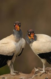 Pete Oxford - King Vulture pair perched on rocks, South America