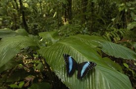 Pete Oxford - Morpho Butterfly butterfly, on a leaf in the rainforest, Ecuador