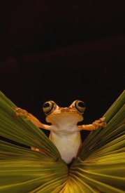 Pete Oxford - Chachi Tree Frog , Choco Rainforest,  Ecuador