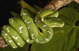 Pete Oxford - Emerald Tree Boa adult, Amazon, Ecuador
