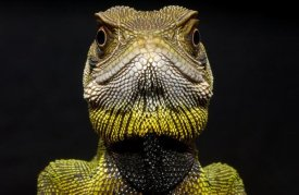 Pete Oxford - Bocourt's Dwarf Iguana close up, Esmeraldas, Choco Rainforest, Ecuador
