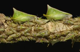 Pete Oxford - Treehopper adults and nymphs, Mindo cloud forest,  Andes, Ecuador
