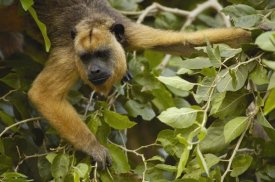 Pete Oxford - Black Howler Monkey female, Pantanal, Brazil