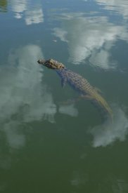Pete Oxford - Broad-snouted Caiman floating in calm waters, South America