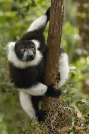 Pete Oxford - Black and White Ruffed Lemur in rainforest, Mantadia NP, Madagascar