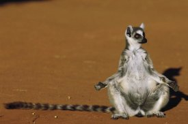 Pete Oxford - Ring-tailed Lemur sunning in late afternoon, Berenty Reserve, Madagascar