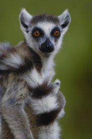 Pete Oxford - Ring-tailed Lemur portrait,  Berenty Reserve,  Madagascar