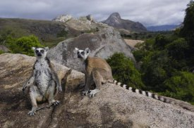 Pete Oxford - Ring-tailed Lemur pair, near Andringitra Mountains, Madagascar