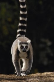 Pete Oxford - Ring-tailed Lemur,  near Andringitra Mountains  Madagascar