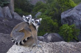 Pete Oxford - Ring-tailed Lemur and young,  near Andringitra Mountains, Madagascar
