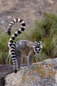 Pete Oxford - Ring-tailed Lemur mother and young, near Andringitra Mountains, Madagascar