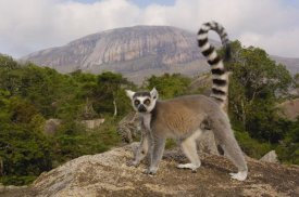 Pete Oxford - Ring-tailed Lemur in the Andringitra Mountains, Madagascar