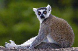Pete Oxford - Ring-tailed Lemur portrait in the Andringitra Mountains, Madagascar