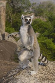 Pete Oxford - Ring-tailed Lemur male standing upright in the Andringitra Mountains, Madagascar